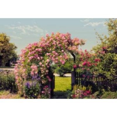 Фотообои Komar Imagine Rose Garden