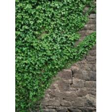 Фотообои Komar Scenics Ivy