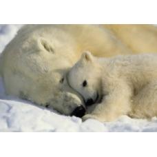 Фотообои Komar National Geographic Polar Bears